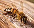 Уже с давних времен наши предки использовали пчелиный яд для лечения различных серьезных болезней, а именно...