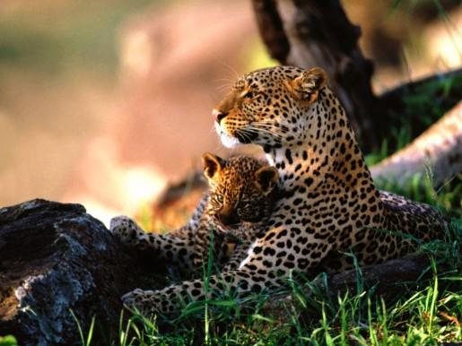 Мама леопарда с детенышем в обнимку