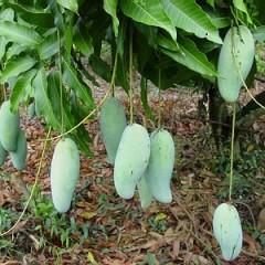 Разведение манго