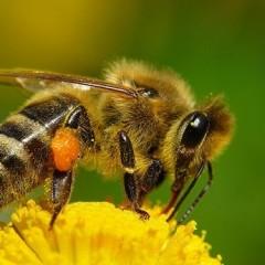 Кое-что о пчелах