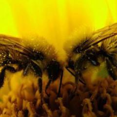 Состав и свойства пчелиного яда