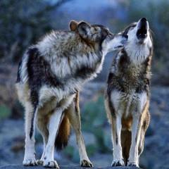 Как повыть с волками?